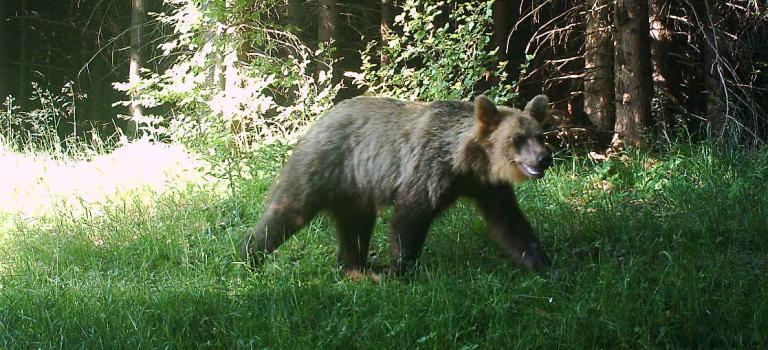 Jedete do slovenské části Javorníků? Pozor na medvědici Emu! Volně se tu pohybuje