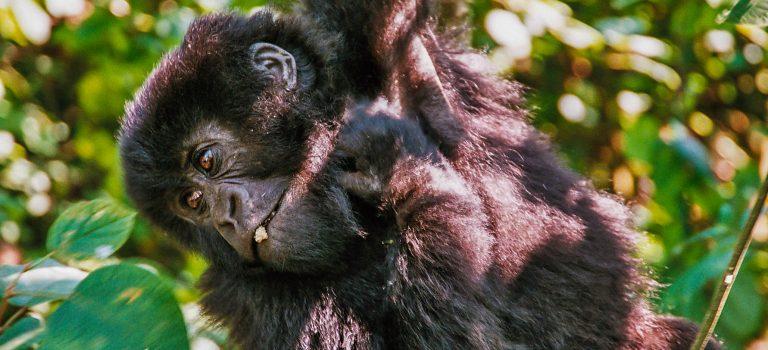 Horské gorily – splněný sen