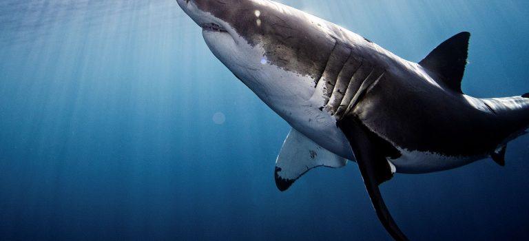 Žraloci i letos vsrpnu připlují na Discovery Channel