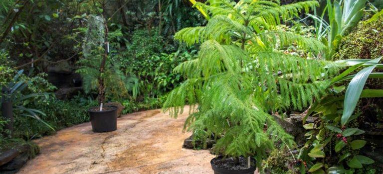 Vyklíčil kriticky ohrožený keř slizoplod krátkotrnný z Nové Kaledonie